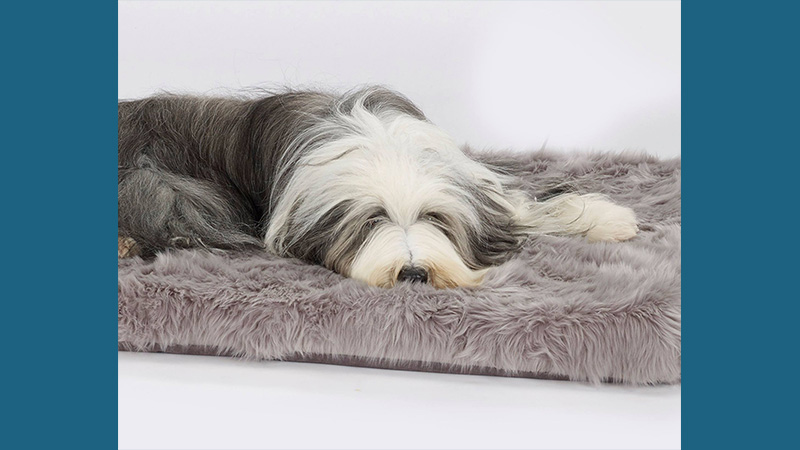 Bearded Collie 11
