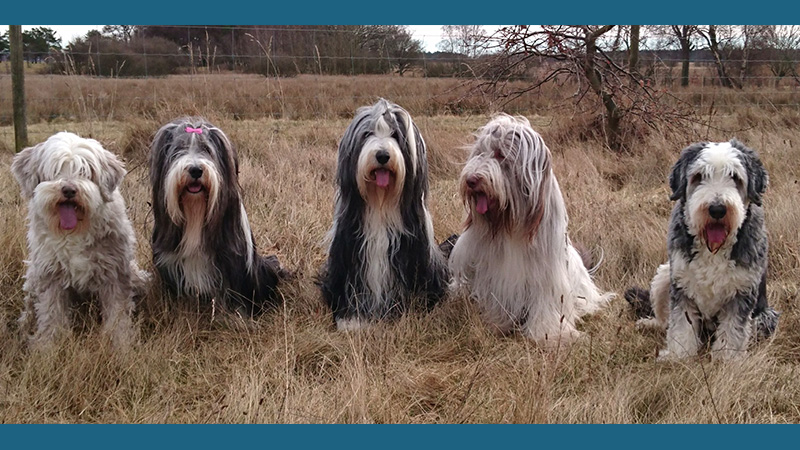 Bearded Collie 12