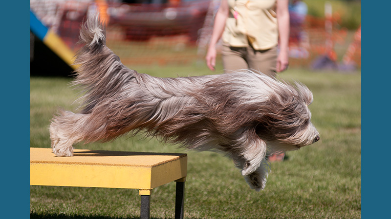 Bearded Collie 13