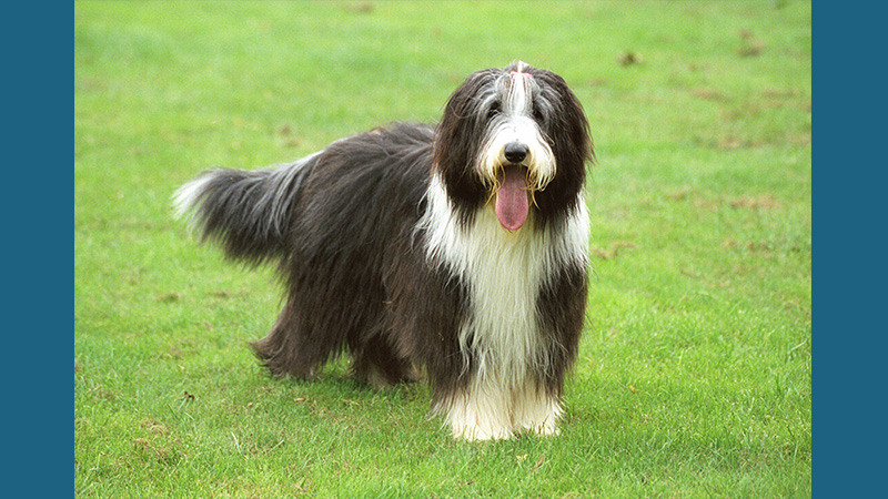 Bearded Collie 3