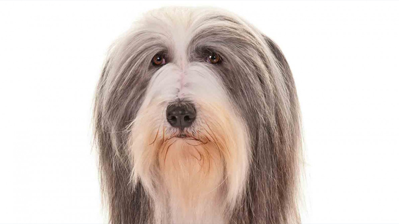 Bearded Collie 4