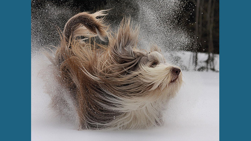 Bearded Collie 5