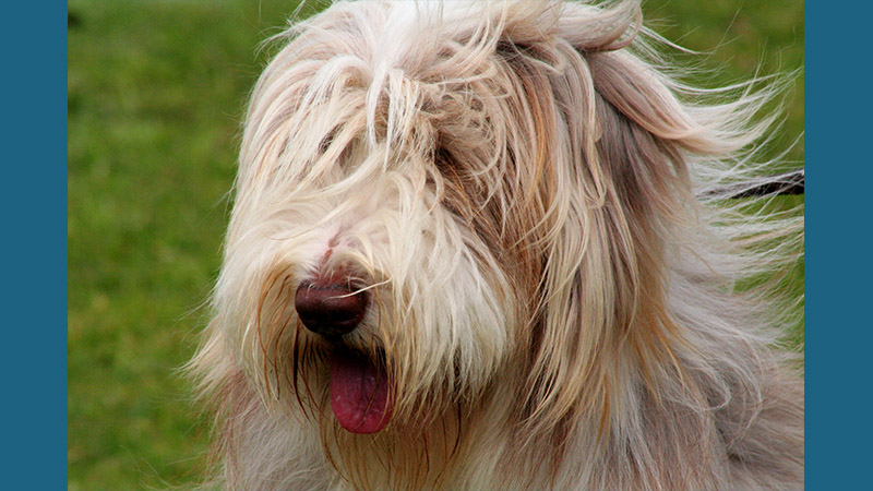Bearded Collie 6