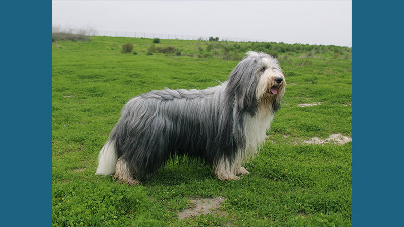 Bearded Collie 7