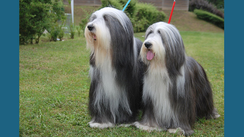 Bearded Collie 8