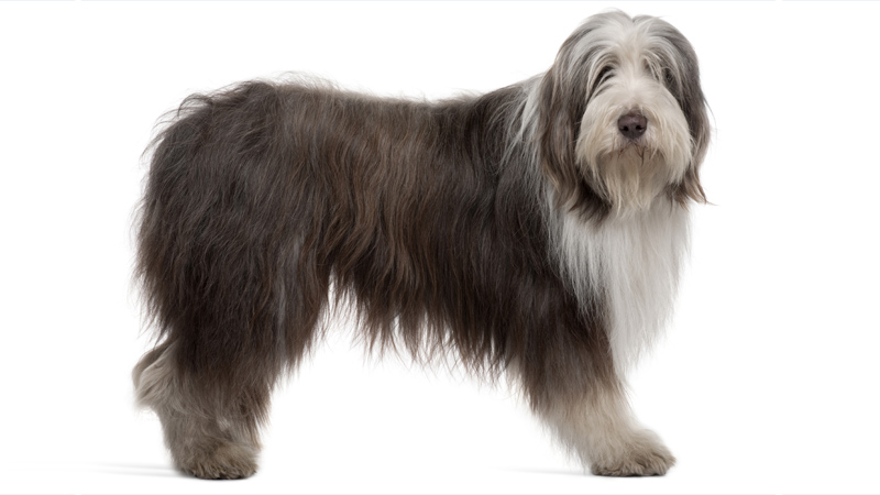 Bearded Collie 9