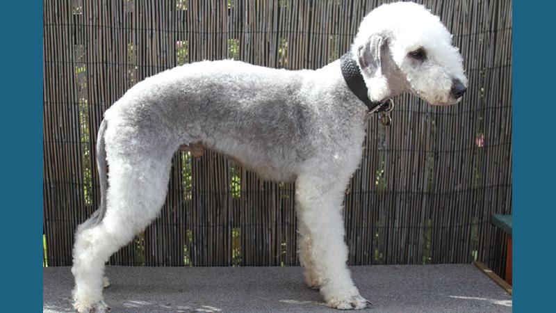 Bedlington Terrier 10