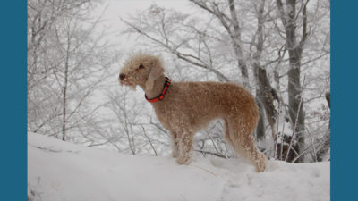 Bedlington Terrier 11