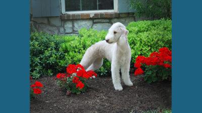 Bedlington Terrier 12