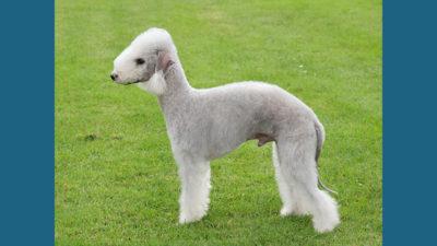 Bedlington Terrier 14