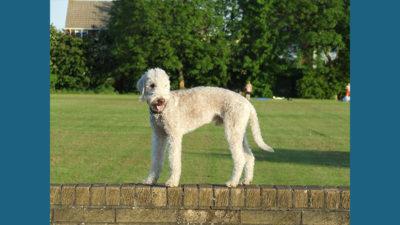 Bedlington Terrier 3