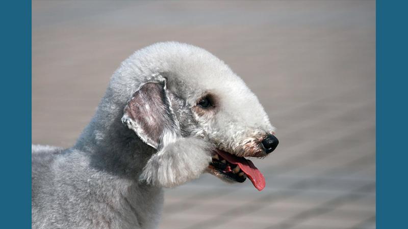 Bedlington Terrier 4
