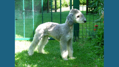 Bedlington Terrier 5