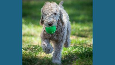 Bedlington Terrier 7