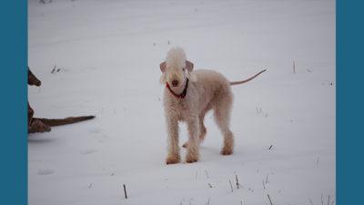 Bedlington Terrier 8