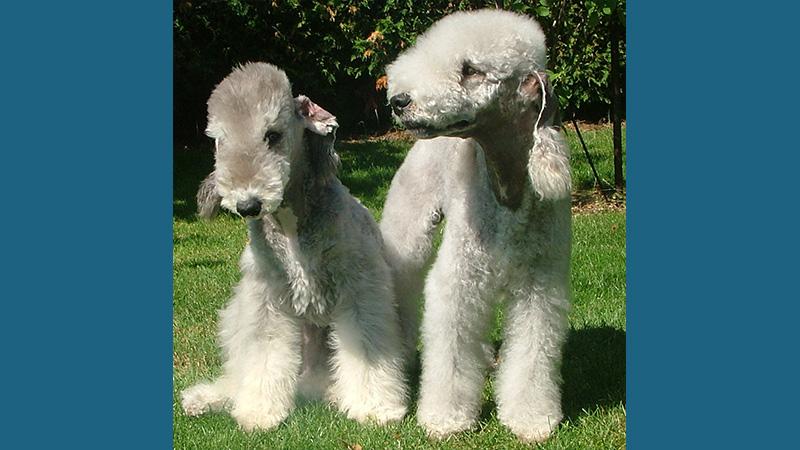 Bedlington Terrier 9
