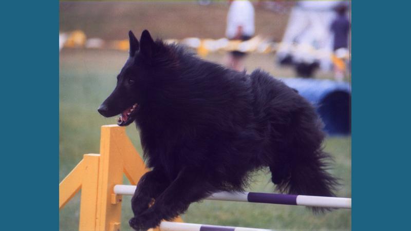 Belgian Sheepdog 1