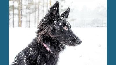 Belgian Sheepdog 10