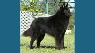 Belgian Sheepdog 13