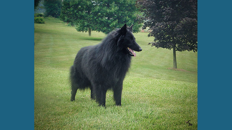Belgian Sheepdog 15