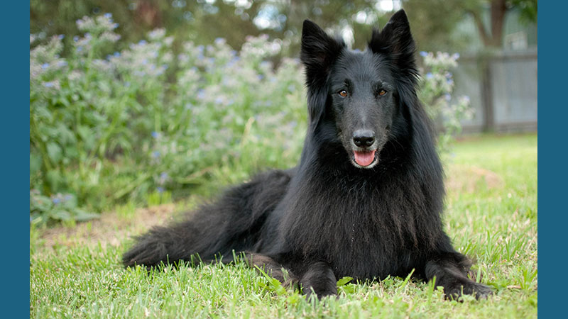 Belgian Sheepdog 16