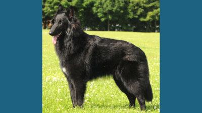 Belgian Sheepdog 2