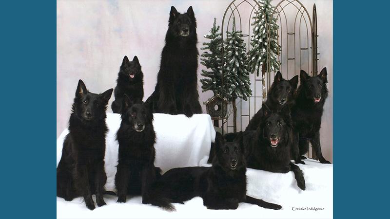 Belgian Sheepdog 6