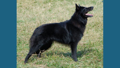 Belgian Sheepdog 8