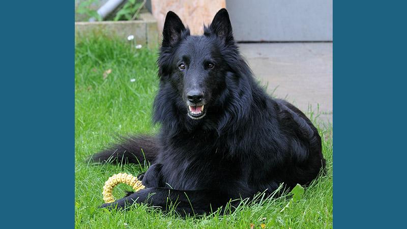 Belgian Sheepdog 9