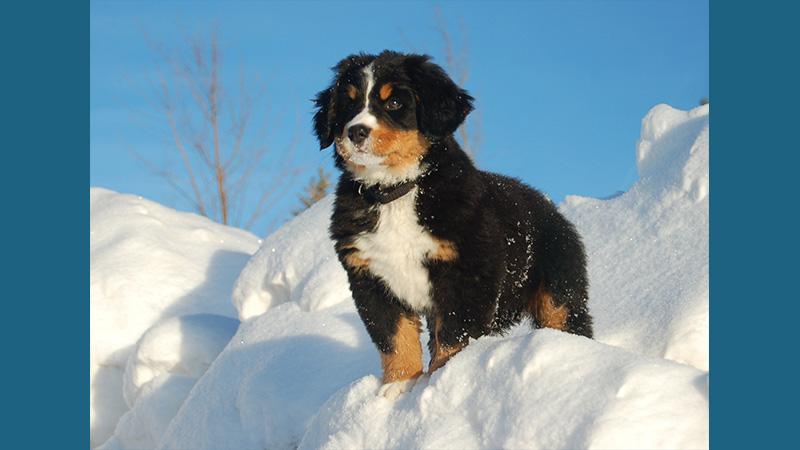 Bernese Mountain Dog 1