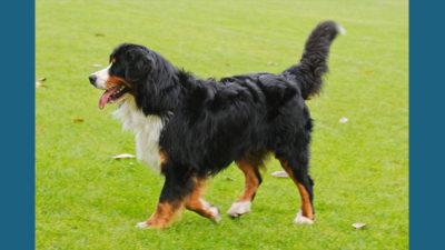 Bernese Mountain Dog 11
