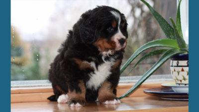 Bernese Mountain Dog 12