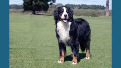 Bernese Mountain Dog 13