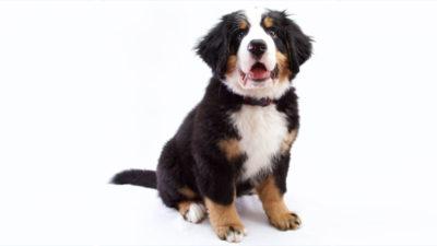 Bernese Mountain Dog 15