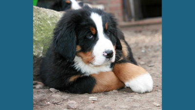 Bernese Mountain Dog 16