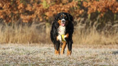 Bernese Mountain Dog 17