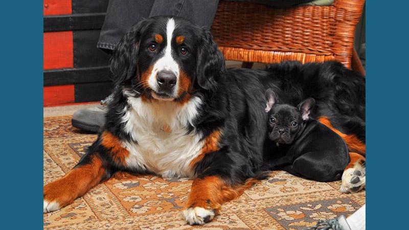 Bernese Mountain Dog 6