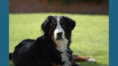 Bernese Mountain Dog 8