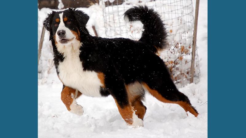 Bernese Mountain Dog 9