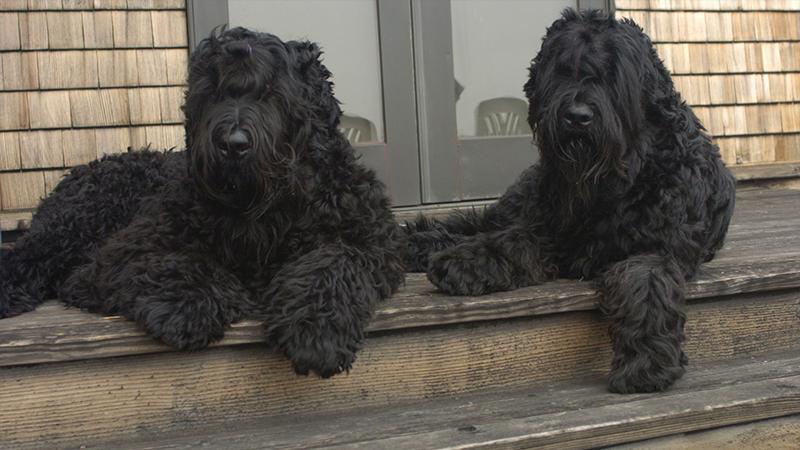 Black Russian Terrier 1