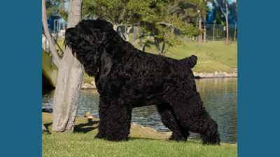 Black Russian Terrier 2