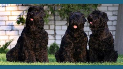 Black Russian Terrier 3