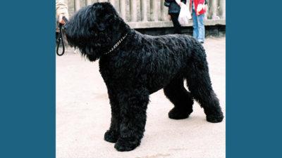 Black Russian Terrier 4