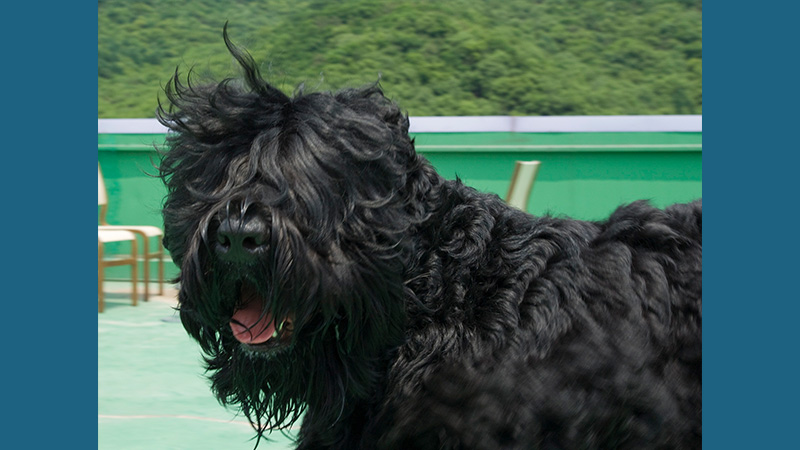 Black Russian Terrier 5