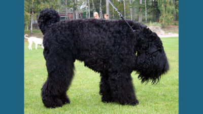 Black Russian Terrier 8