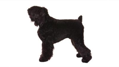 Black Russian Terrier 9