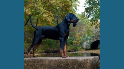 Black and Tan Coonhound 1