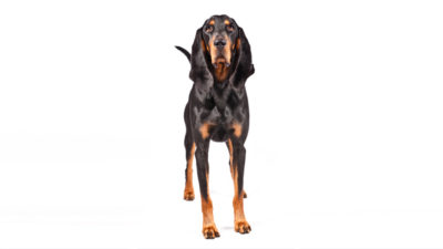 Black and Tan Coonhound 2