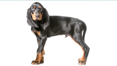 Black and Tan Coonhound 4