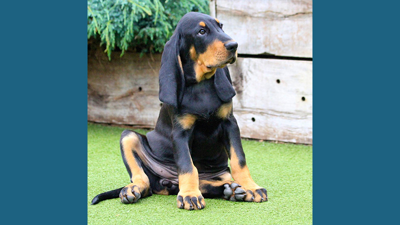 Black and Tan Coonhound 7
